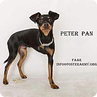 Adopt A Pet :: Peter Pan - Riverside, CA