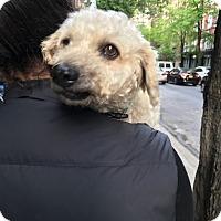 Adopt A Pet :: Luca - Bronxville, NY