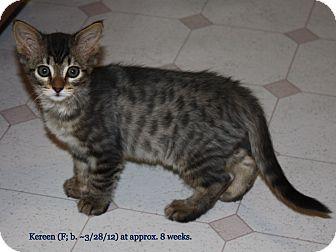 Domestic Shorthair Kitten for adoption in Union, Kentucky - Kereen