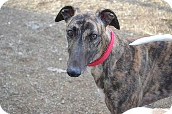 Greyhound Dog for adoption in Chagrin Falls, Ohio - Maddie (Memories Made)