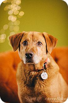 Labrador Retriever/Golden Retriever Mix Dog for adoption in Portland, Oregon - Gilbert