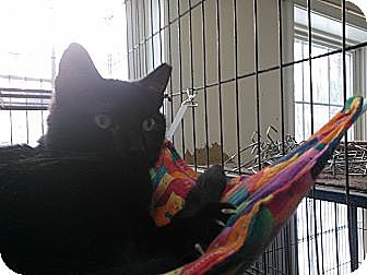 Domestic Shorthair Cat for adoption in East Stroudsburg, Pennsylvania - Seth