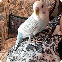 Adopt A Pet :: Molly - St. Louis, MO