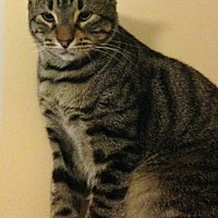 Domestic Shorthair Cat for adoption in Baton Rouge, Louisiana - Gilligan