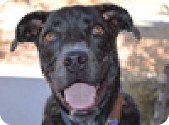 Labrador Retriever Mix Puppy for adoption in Portola, California - Bunny