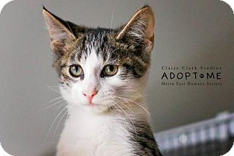 Domestic Shorthair Cat for adoption in Edwardsville, Illinois - Barclay