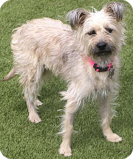 Border Terrier/Terrier (Unknown Type, Small) Mix Dog for adoption in Bedminster, New Jersey - Lemon Drop - MEET ME