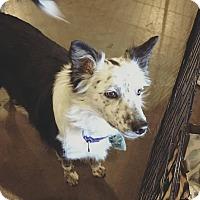Adopt A Pet :: Bailee - Allen, TX
