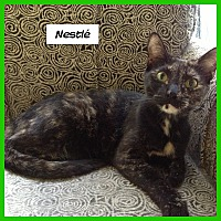 Domestic Shorthair Cat for adoption in Miami, Florida - Nestle