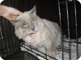 Ragdoll Cat for adoption in Glendale, Arizona - Noble Ben *FIV+*