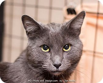 Domestic Shorthair Cat for adoption in Fountain Hills, Arizona - Fry