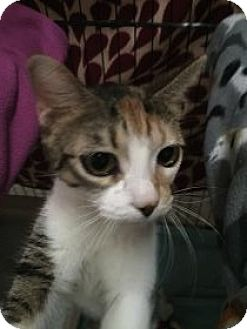 Domestic Shorthair Cat for adoption in Centerville, Georgia - Ellie