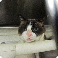 Siamese Cat for adoption in Grand Junction, Colorado - Yuki