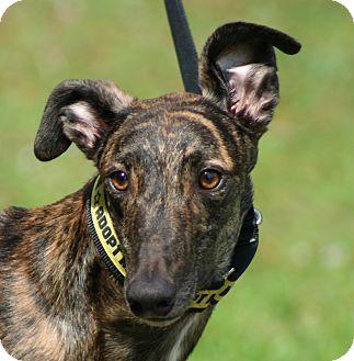 Greyhound Dog for adoption in West Palm Beach, Florida - Thomas