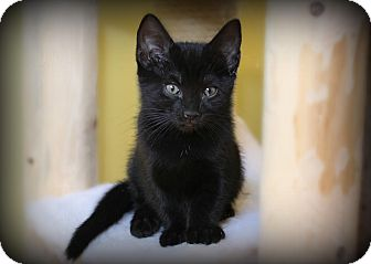 Domestic Shorthair Kitten for adoption in Glen Mills, Pennsylvania - Shadow