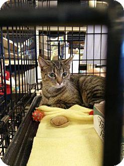 Domestic Shorthair Cat for adoption in Avon, Ohio - Sancy
