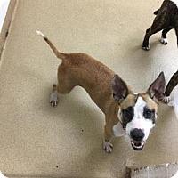 Adopt A Pet :: Krissy - Miami, FL