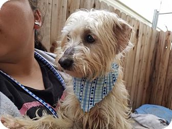 Terrier (Unknown Type, Medium) Mix Dog for adoption in Apple Valley, California - Gingeroo