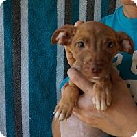 Adopt A Pet :: Argus - Oviedo, FL
