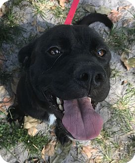 Labrador Retriever Mix Dog for adoption in Boca Raton, Florida - Jewel