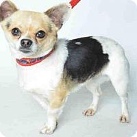 Adopt A Pet :: LANA - Ukiah, CA