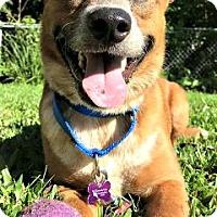 Adopt A Pet :: Dexter - Bradenton, FL