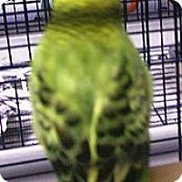 Adopt A Pet :: Finn - Lenexa, KS