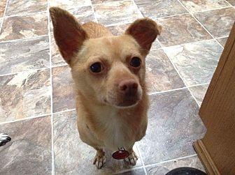 Chihuahua Mix Dog for adoption in Bonney Lake, Washington - Higgins