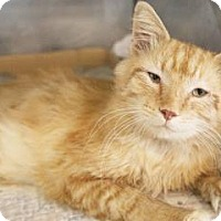 Domestic Mediumhair Cat for adoption in Bedford, Indiana - Jake