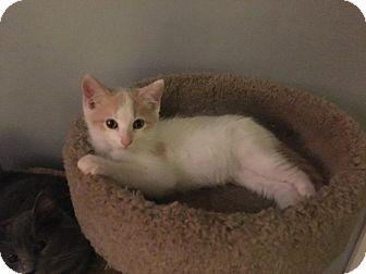Domestic Shorthair Kitten for adoption in Jerseyville, Illinois - Cody
