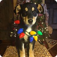 Adopt A Pet :: Vixen - Russellville, KY