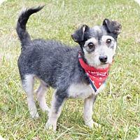 Adopt A Pet :: Scruff - Mocksville, NC