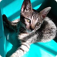 Adopt A Pet :: Fedora - N. Billerica, MA