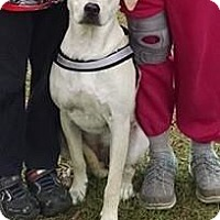 Labrador Retriever/American Staffordshire Terrier Mix Dog for adoption in Marianna, Florida - Marley