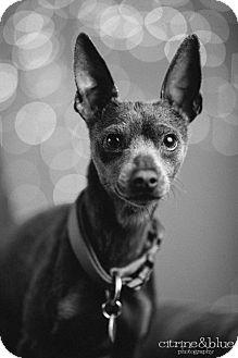 Miniature Pinscher Dog for adoption in Portland, Oregon - Quinto