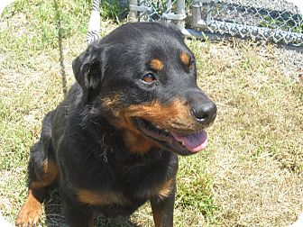 Rottweiler Mix Dog for adoption in Frederick, Pennsylvania - Phoenix