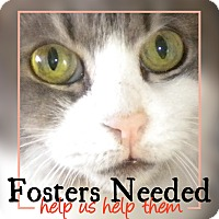 Domestic Shorthair Kitten for adoption in Brooklyn, New York - Fosters Needed