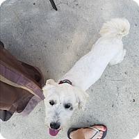 Adopt A Pet :: Snowflake - Simi Valley, CA