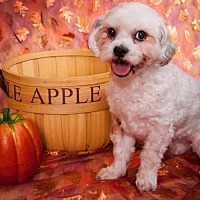 Shih Tzu/Poodle (Miniature) Mix Dog for adoption in Elizabethtown, Pennsylvania - Norm