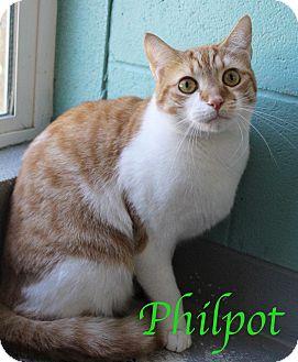 Domestic Shorthair Cat for adoption in Bradenton, Florida - Philpot