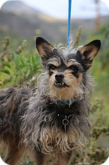 Silky Terrier/Brussels Griffon Mix Dog for adoption in Fillmore, California - Maggie