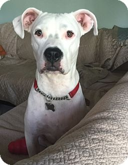 American Bulldog/Dalmatian Mix Dog for adoption in Tampa, Florida - Jaxx