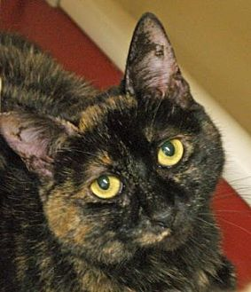 Domestic Shorthair Cat for adoption in Morgan Hill, California - Maleficent