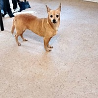 Chihuahua Mix Dog for adoption in Marianna, Florida - Princess