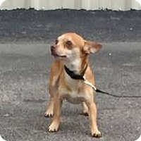 Adopt A Pet :: Nico - Avon, NY