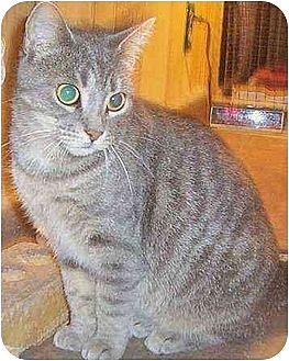 Domestic Shorthair Cat for adoption in Chapman Mills, Ottawa, Ontario - ISIS (la belle Fille)