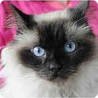 Adopt A Pet :: Teddy Bear - Columbus, OH