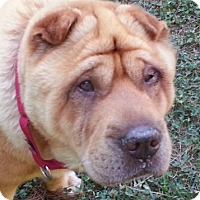 Adopt A Pet :: Solomon - Barnegat Light, NJ