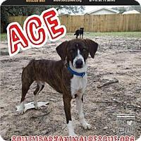 Adopt A Pet :: Ace - Pensacola, FL