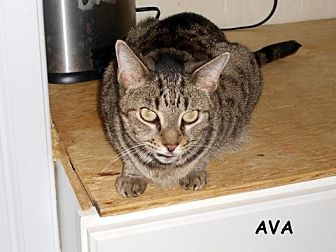 Domestic Shorthair Cat for adoption in Naples, Florida - Ava